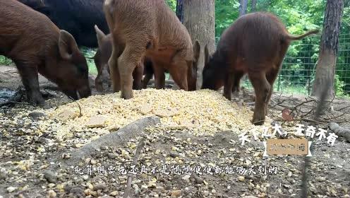 一年损失10亿!美国野猪泛滥成灾,为何不抓来吃?