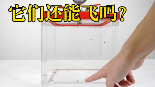 把蚊子放进真空箱里,它还会飞吗?