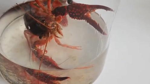 """把小龙虾泡进高浓度酒精中,会做成""""醉虾""""吗?这谁还下得了口"""