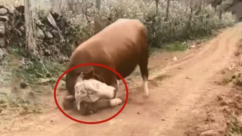 一头牛被石头绊了一跤,不料牛的脾气上来了,镜头拍下全过程