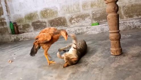 公鸡挑衅猫咪,不料被猫咪一技锁喉,不一会儿,就没动静了
