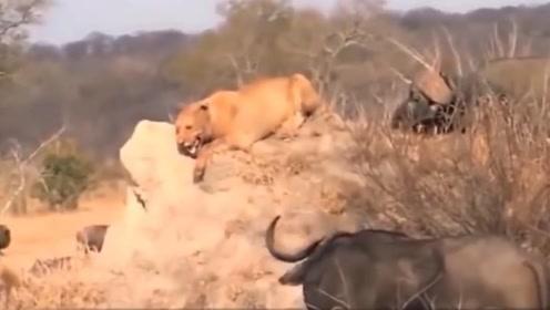 狮子野兽之王的美誉消失,化身嘤嘤怪,被野牛吓的钻地缝