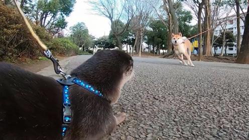水獭看到柴犬,上去就要干架,下一秒憋住别笑!