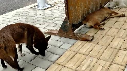 萌宠 工地上的几只大土狗,2个睡觉1个警戒,很敬业!
