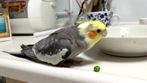 鹦鹉对着掉出碗的青豆,指责主人浪费粮食