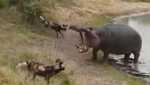 羚羊遭鬣狗群捕杀,河马看到后挺身而出,网友:男友力MAX!