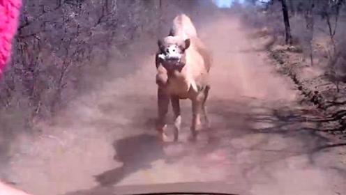 骆驼口渴难耐,追着车跑讨水喝,结果人类竟这样对它?太缺德了!