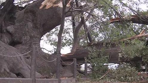 风王海贝思肆虐日本多地 当地一棵千年古树树干被折断