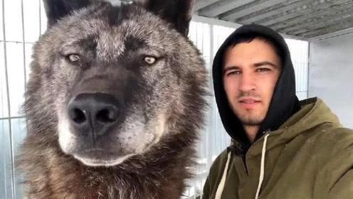 它是世界上最大的狼,身长2米,能秒杀藏獒,见到主人却画风突变
