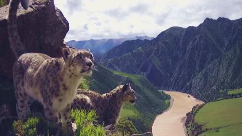 """雪豹标记""""领地""""画面被拍到!还是两只一起在同一地点标记"""