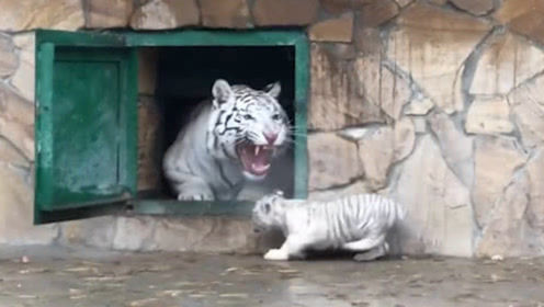 小白虎贪玩不肯回家,结果虎妈一声吼叫后,镜头记录下全过程
