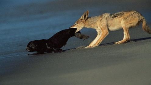 海豹正在岸上嗮太阳,却不想被豺狼盯上,结果命丧狼口!