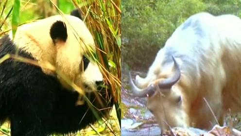自驾游吗?能偶遇熊猫和羚牛的那种