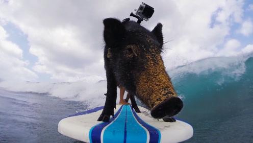 会冲浪的猪,笨手笨脚场面滑稽,网友:这只猪有梦想!