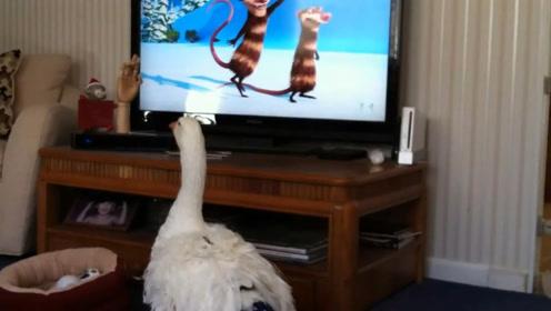大鹅正在看电视,发现主人要换台,接下来大鹅的反应有趣了
