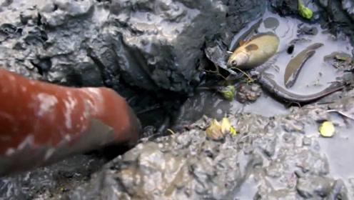 一边挖一边捡,鱼都藏进泥中了……