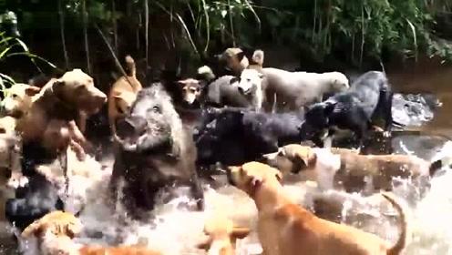 几十条狗疯狂围攻大野猪,估计野猪快要崩溃了