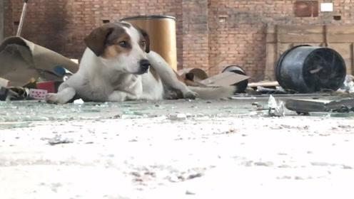 现实版忠犬八公 市场搬迁 狗狗在原来的家苦等主人