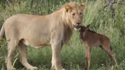 狒狒保护羚羊,河马保护牛羚,狮子保护小牛犊,这是怎么回事?