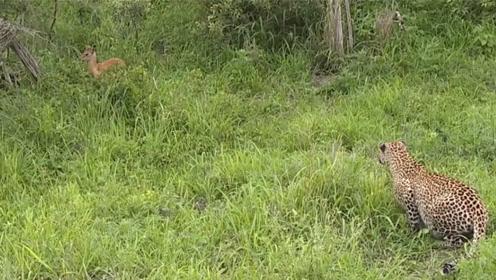 花豹捕捉小羚羊的瞬间,千万别眨眼,速度太快了!