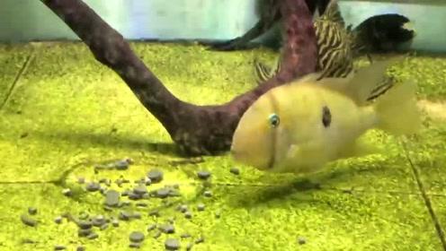 台湾朋友的观赏鱼,苏利南青眼鹦鹉慈鲷,我们这里叫什么名字?
