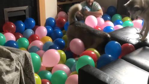 小伙为自家狗狗准备惊喜,结果惊喜变惊吓,狗狗表示受不了