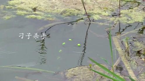 野河20米宽,水草洞逗钓鲫鱼,逗一下就吃