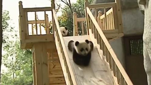 熊猫玩滑滑梯上瘾,饲养员:感觉带了群小朋友,镜头记录下全过程