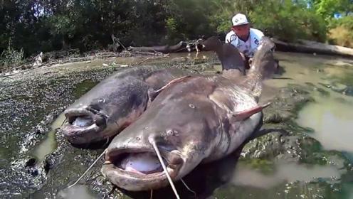 原始野河中钓获两条大鲶鱼,足足有百斤重,这是要成精的节奏!