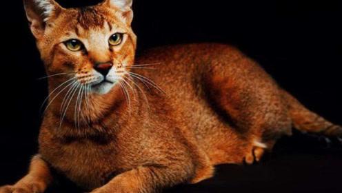 """非洲培育出""""猫咪""""新品种,长相如同狮子,被称为猫中的狮子王!"""