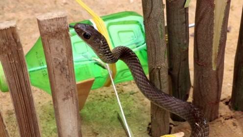 男子竟自制陷阱抓蛇,一个塑料瓶子就能轻松捕捉,看完简直不敢相信!