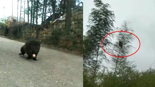 """江西萍乡突现""""野生猩猩""""捡苹果,村民追着看稀奇:这里还有"""