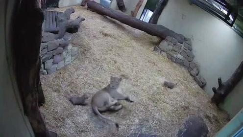 逗趣!调皮幼狮偷袭妈妈 吓得母狮子一激灵