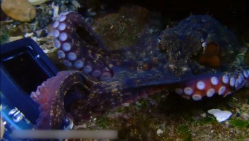 """小章鱼""""偷""""相机被发现 水中与潜水员""""拔河""""场面搞笑"""