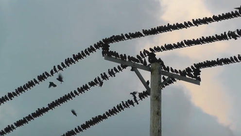 一群鸟儿在高压线上停留,当它们集体起飞时,高压线瞬间爆炸