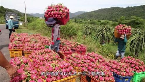 火龙果滞销急坏越南果农 含泪赔钱卖给中国人