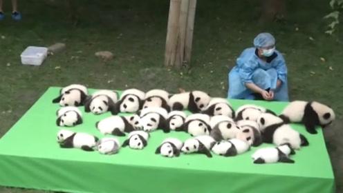 一群熊猫宝宝晒太阳,其中一只吸引众人目光:生着生着没墨了?