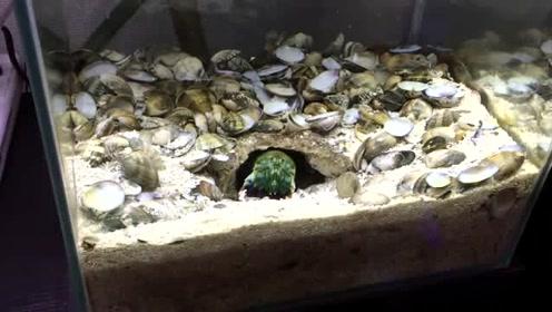 大龙虾以贝壳为食,活久见啊,敲壳吃肉动作太灵敏了