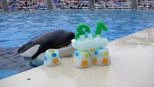 水族馆虎鲸过13岁生日!工作人员准备大蛋糕,味道棒极了