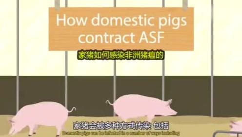 3分钟视频,带你了解什么是非洲猪瘟,为什么它不容易被控制!
