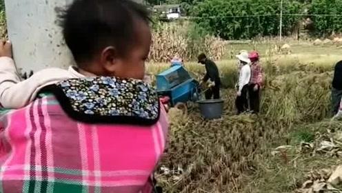 要收稻谷了,孩子没人看,绑电线杆上总比放地上安全