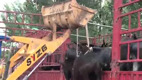 你看那满天的驴在飞,铲车司机真厉害,网友:原谅我没有忍住!