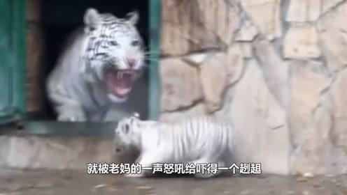 小白虎贪玩不肯回家,结果虎妈一怒吼,下一秒请憋住别笑!