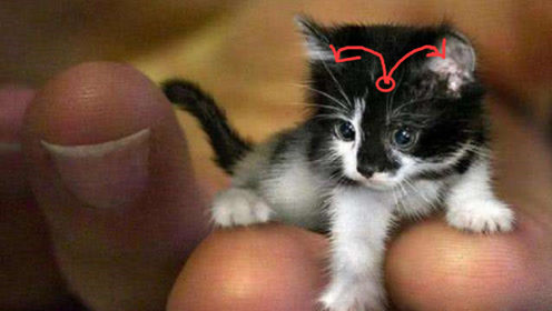 世上最小的猫咪,仅有7厘米高,睡觉前要亲吻主人的下巴!