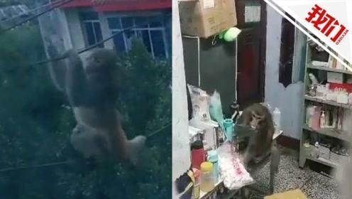 实拍:猕猴闯进女生宿舍大口吃零食 女生躲在帘子后吓坏
