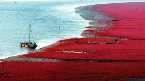 """我国罕见的""""红海滩"""",一年只现身一次,来历至今不明!"""