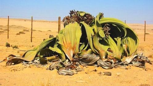 沙漠最神奇的植物,一生只长两片叶子,能存活2000年!