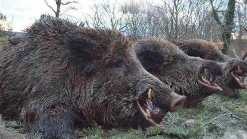 美国野猪泛滥许久,美国人为何宁愿损失十亿美元,也不愿意抓来吃?