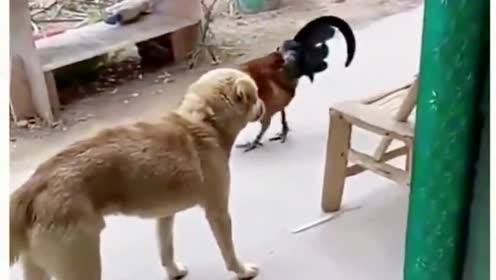 """虚张声势的狗子又来""""挑衅""""了,大公鸡很淡定,不把你放眼里!"""