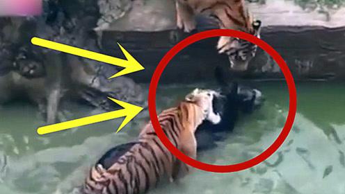 活驴被丢进虎园,两只老虎围过来,场面顿时不忍直视!